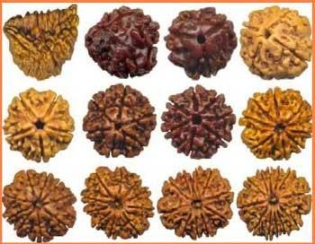 Rudraksha com várias linhas